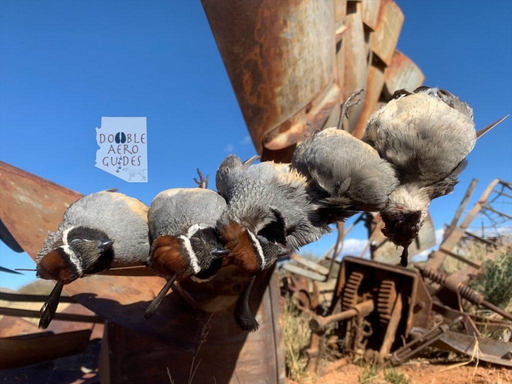 Arizona Gambels quail hunting