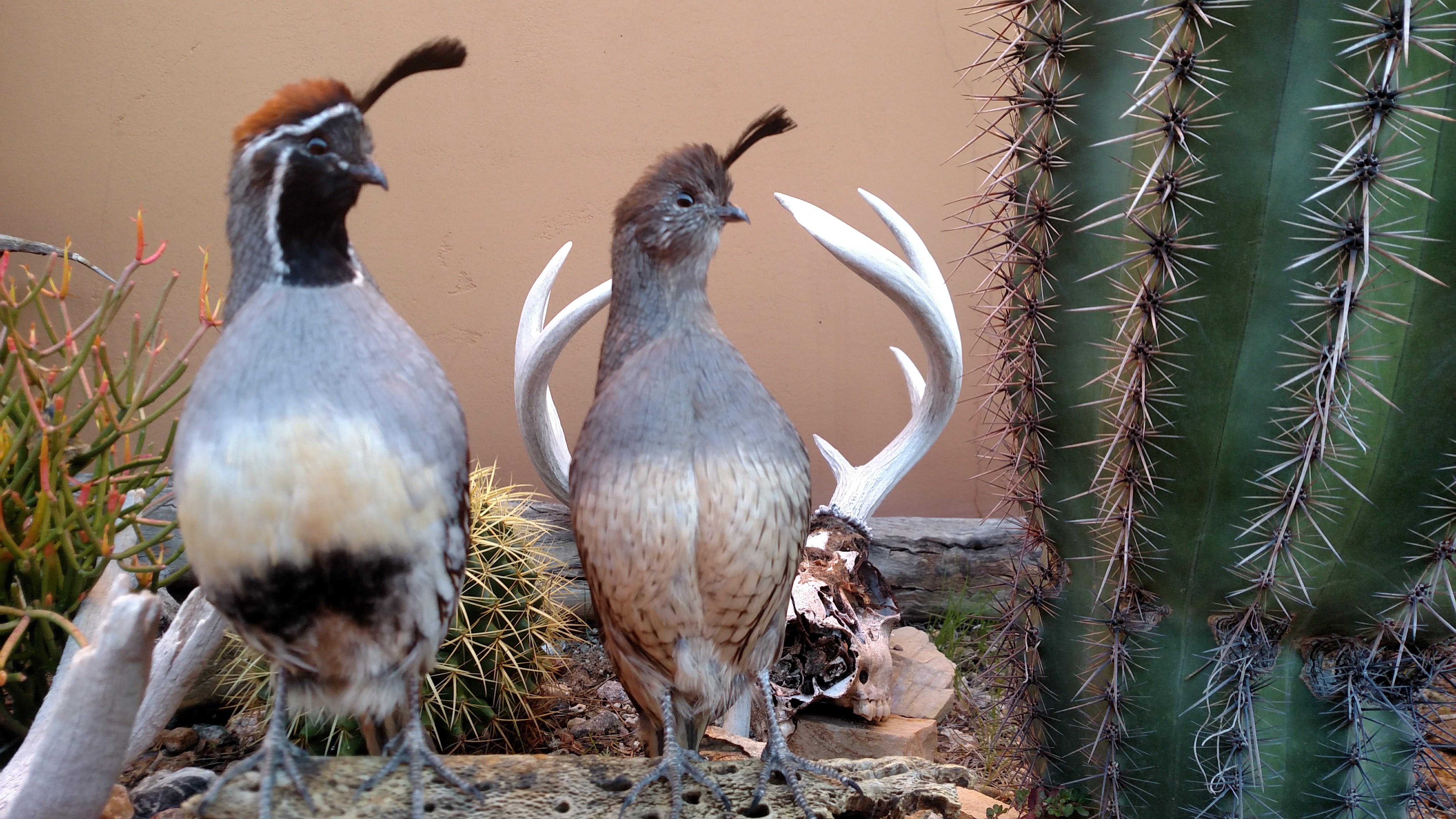 Arizona Gambels quail taxidermy