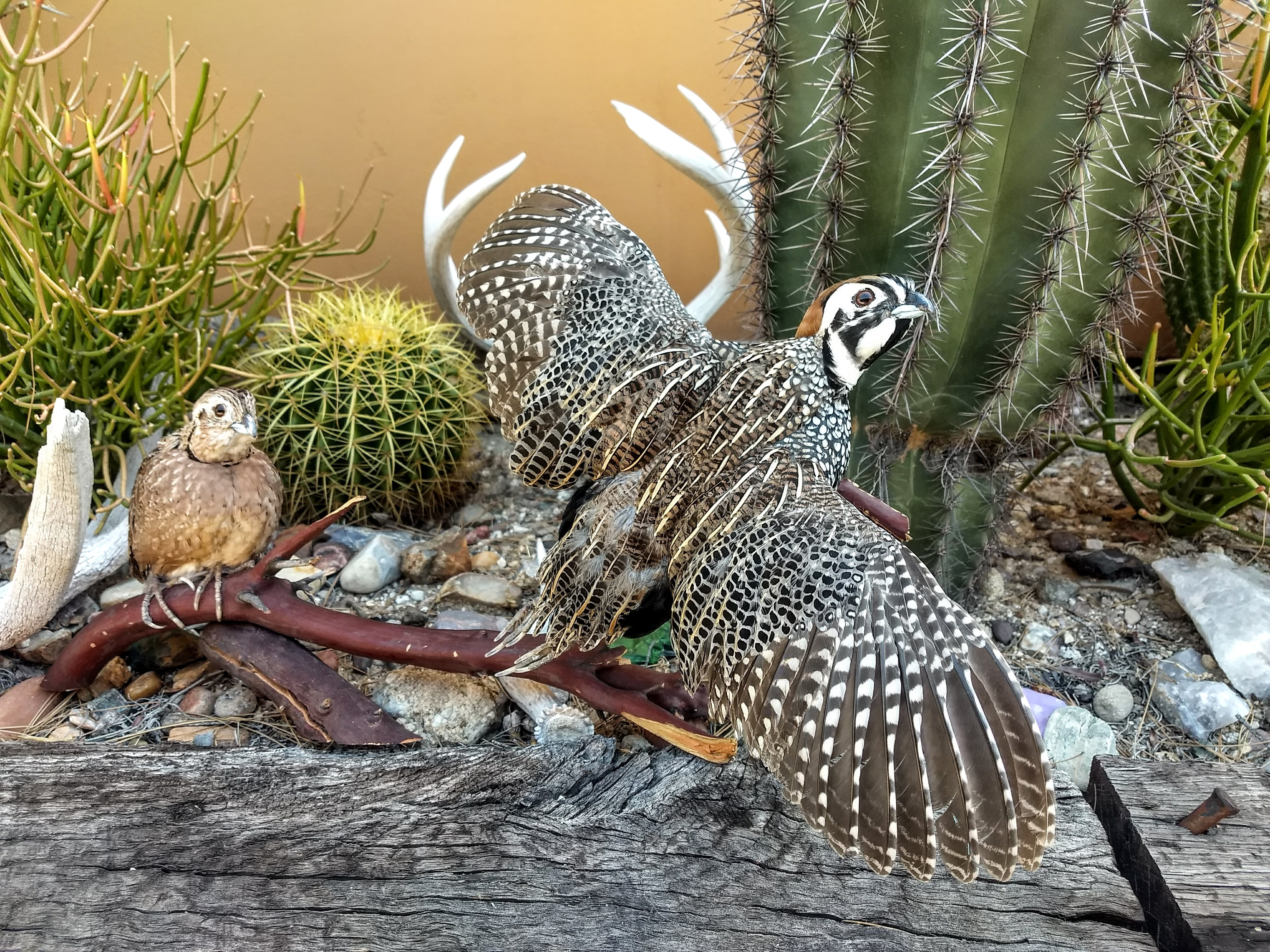 Mearns quail taxidermy
