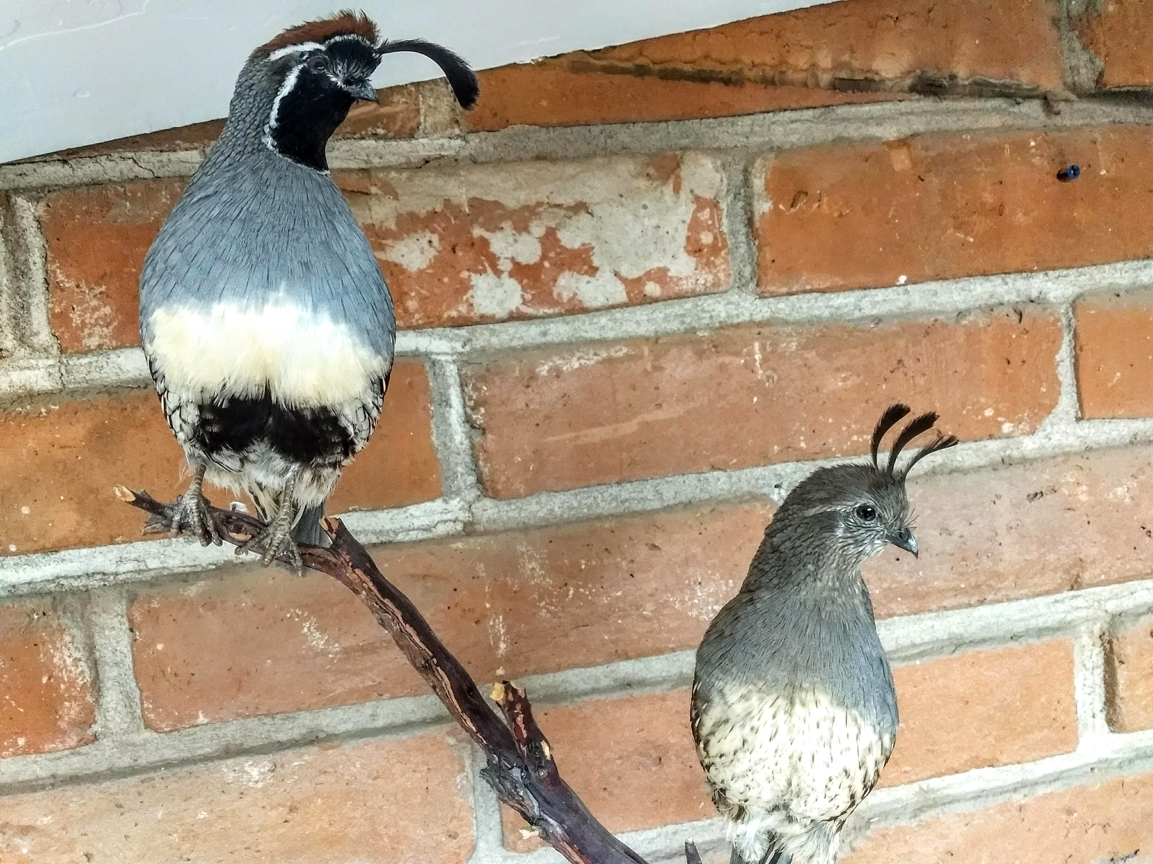 Gambels quail taxidermy