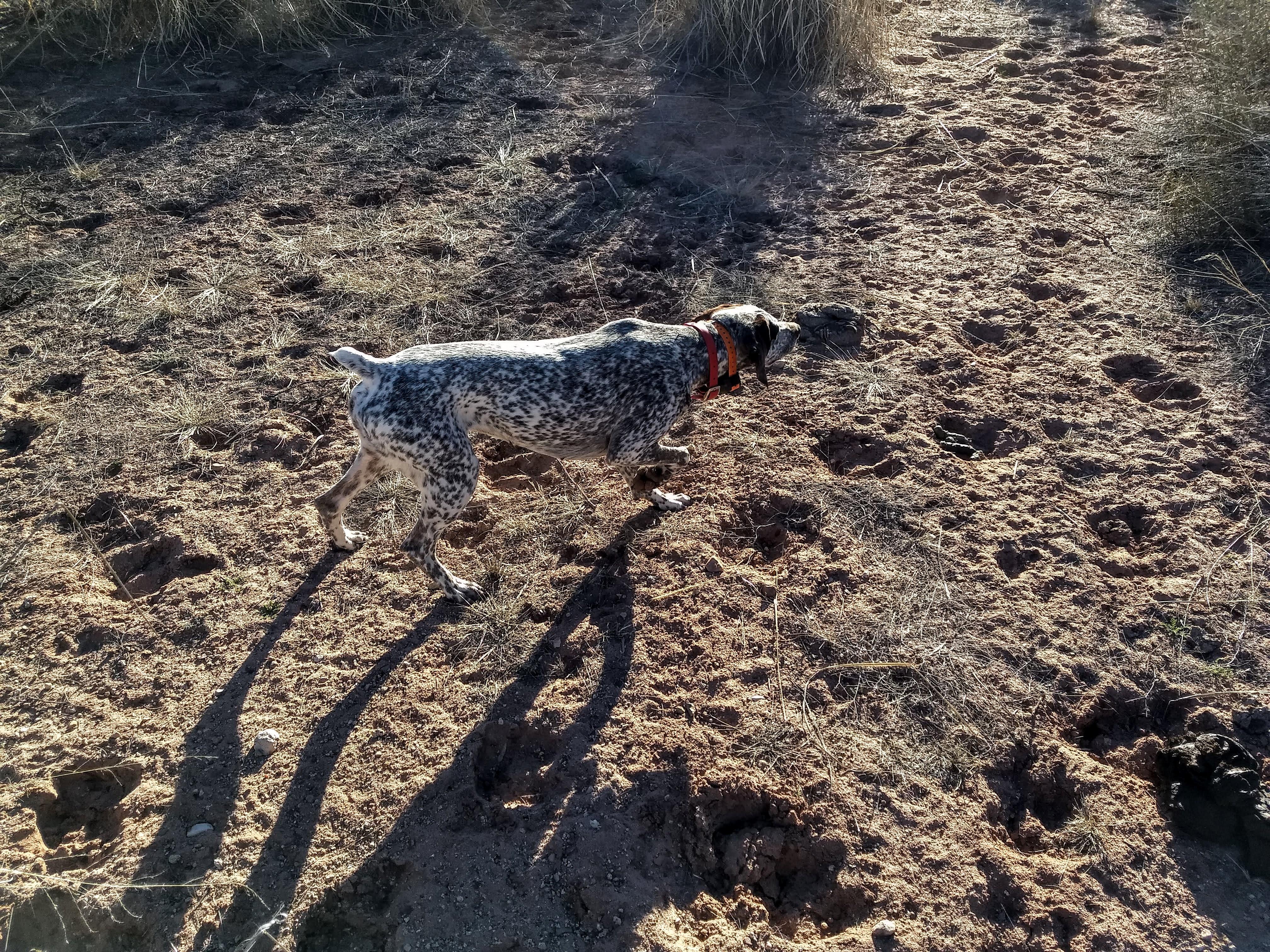 Arizona Guided Quail Hunt