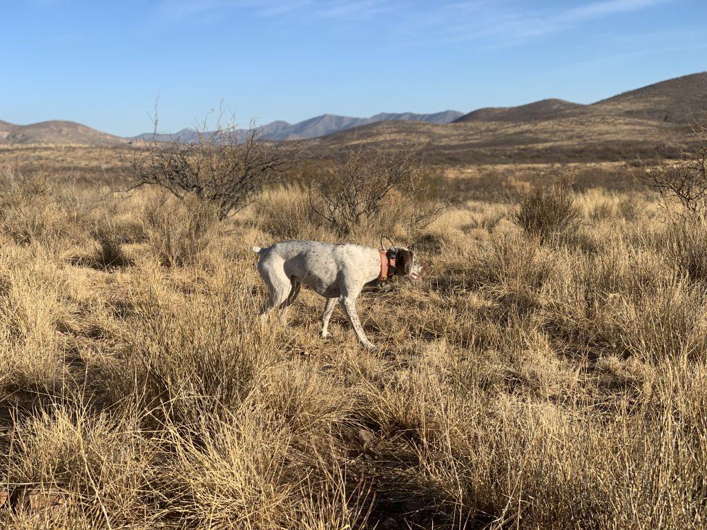 Braque du Bourbonnais Arizona quail guide