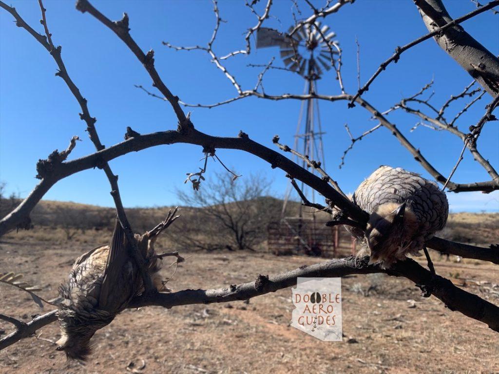 Scaled quail hunting Arizona