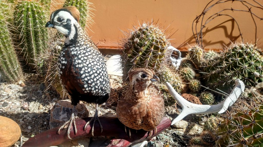 Arizona quail taxidermy