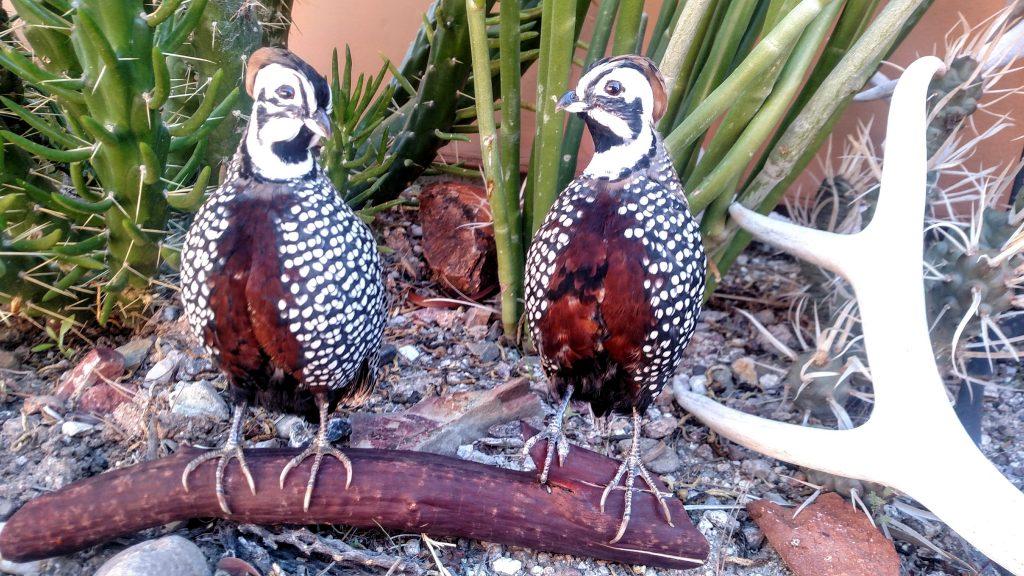Arizona quail guides